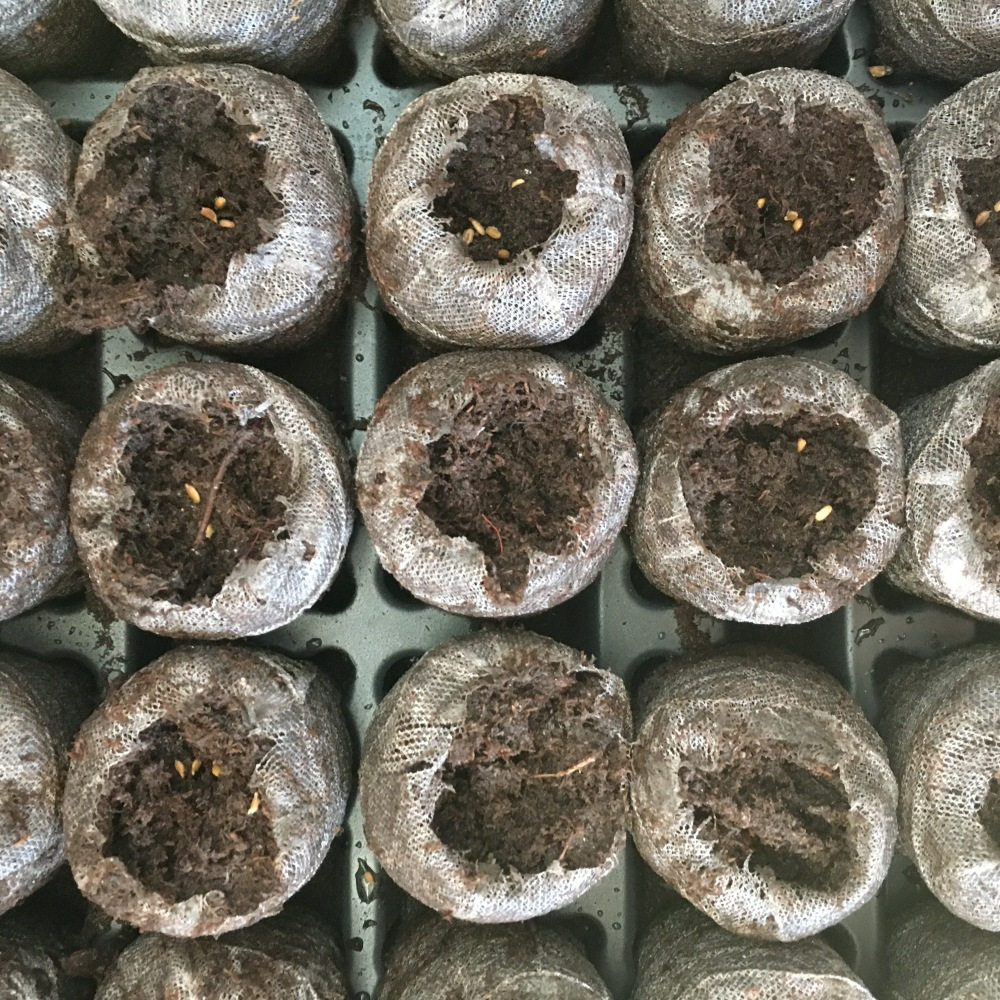 Planting seeds in peat moss pellets